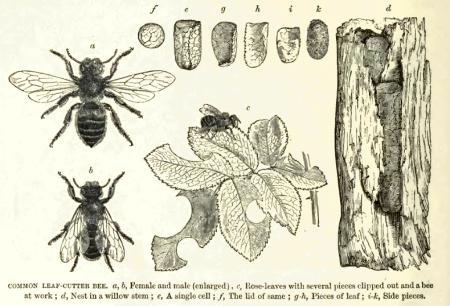 leaf-cutter-bee
