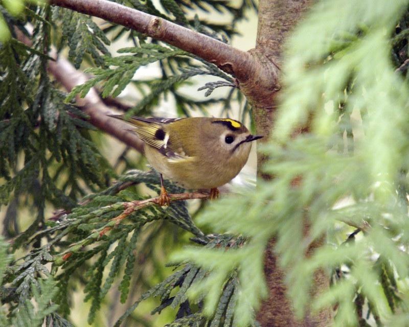 goldcrest-on-conifer