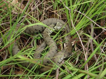 large-grass-snake-sm