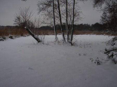 reedbed-in-snow-sm1