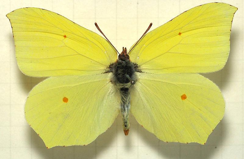 butterfly-brimstone