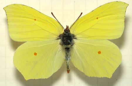butterfly-brimstone