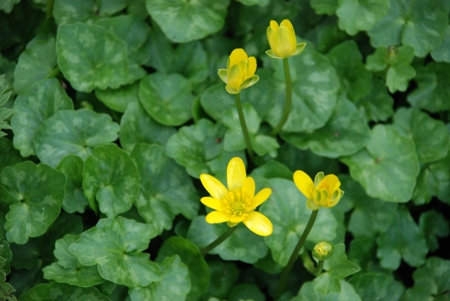 Lesser Celandine on banks of the Brookly Stream