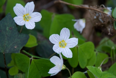 Wood sorrel by the Gelvert Stream