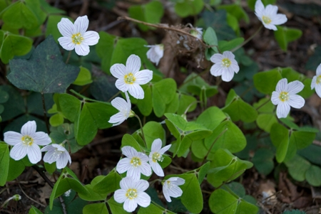 Wood sorrel along Gelvert Stream footpath by Sandy Bay