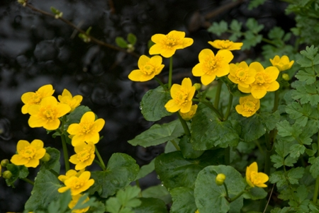 Marsh Marigold by Hemelite Bay
