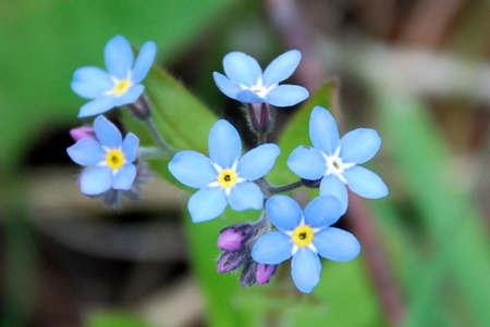 Forget-me-not on banks of Brookly Stream