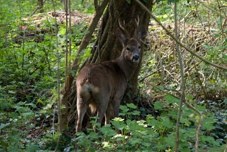 Roe Deer in Brookly Glade