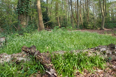Alliums in Brookly Glade