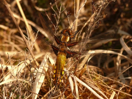 davidb broad-bodied chaser small