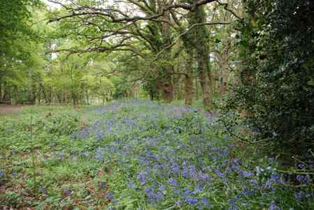 Bluebells at Sandhills