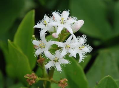Bogbean flowers