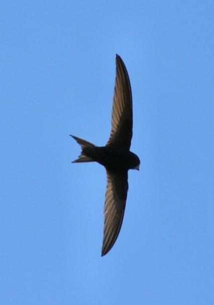swift in flight small