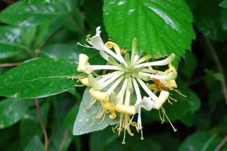 Wild honeysuckle in woodland