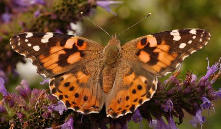 painted_lady_top_closer_wiki