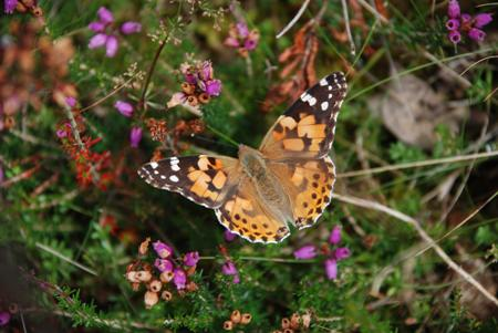 Painted Lady butterfly on Bell heather at Dry Heath