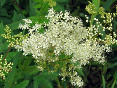 Meadowsweet by railway station carpark footpath