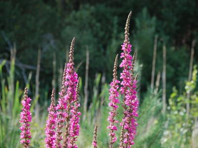 Purple Loosestrife by railway carpark footpath