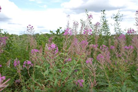 Rosebay Willowherb at Chestnut Grove