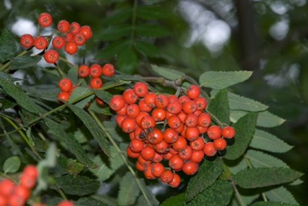 Rowan berries in woodland