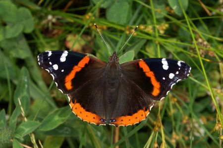 red_admiral_wiki