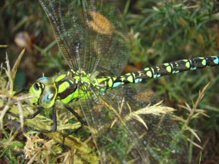 southern hawker sm