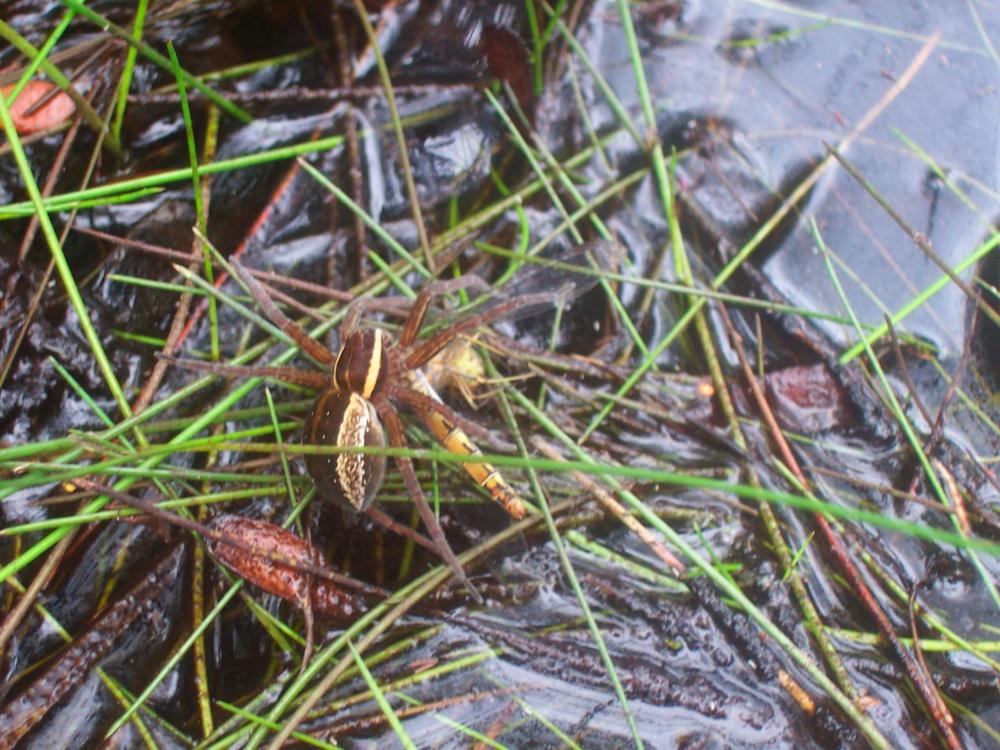 Ranger's Notebook - Spiders At Fleet Pond (3/4)