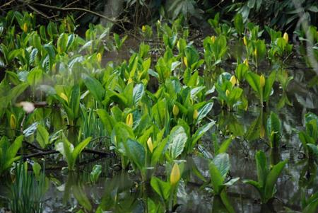 American Skunk Cabbage in Brookly Glade
