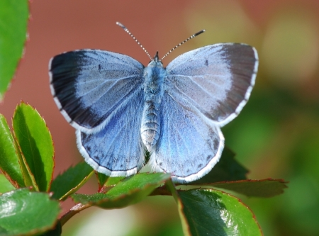holly-blue-wurzel