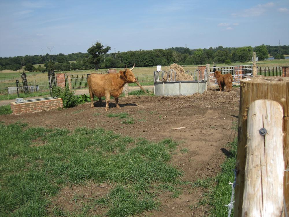 Highland Calf Sprats Hatch Farm sm