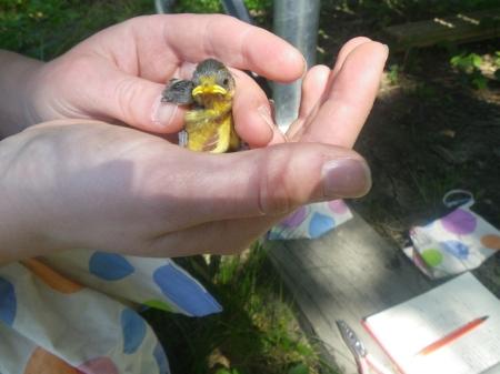 2014-05-16_Bird Ringing 1