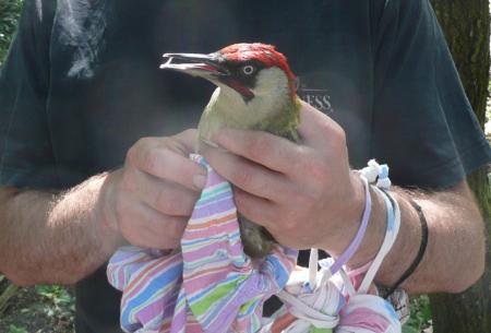 Woodpecker June 2014