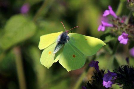 640px-Common_brimstone_butterfly_(Gonepteryx_rhamni)_male_in_flight