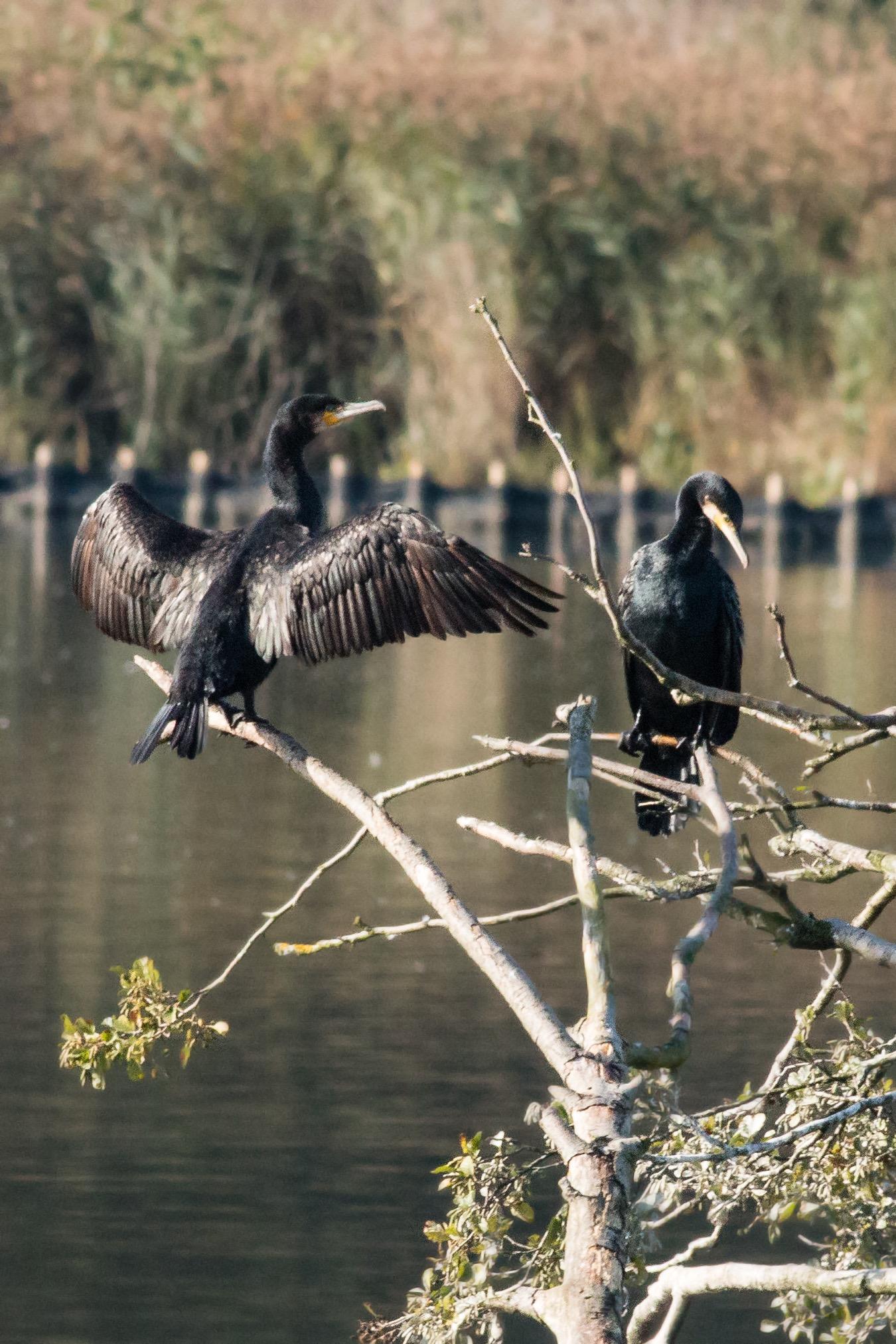 Cormorants 2 small
