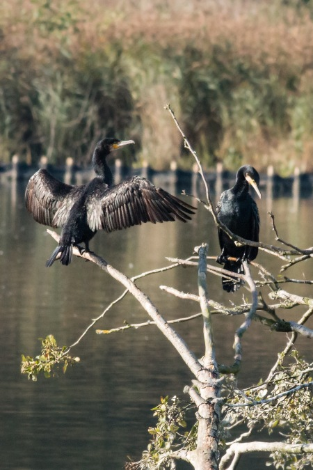Cormorants 2 small