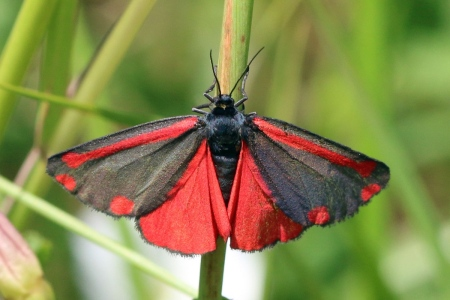 Cinnabar_moth_(Tyria_jacobaeae) s