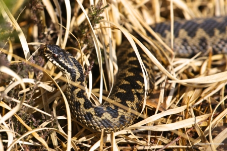 Fleet Pond Adder