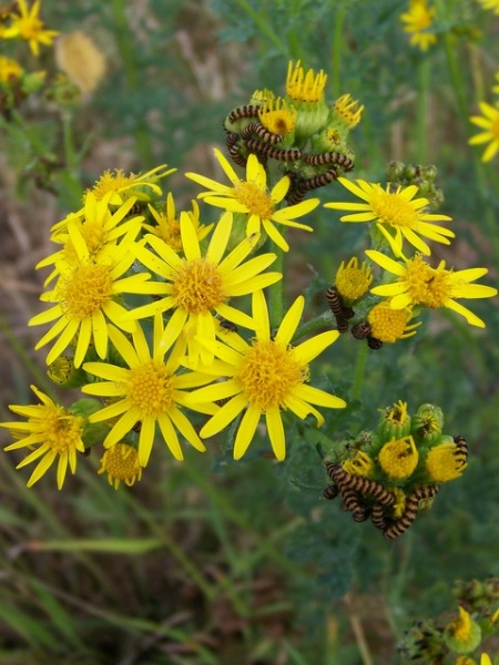 Ragwort_and_caterpillars,_Croucheston_-_geograph.org.uk_-_1388879