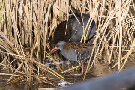 water-rail-fleet-pond