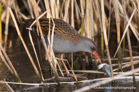 water-rail-and-bream